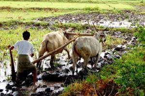 Farming,_Myanmar